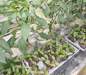 ツルムラサキの定植