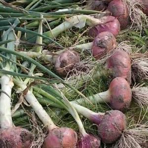 赤玉ねぎの収穫