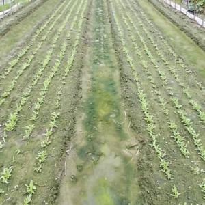 秋冬野菜の種まき