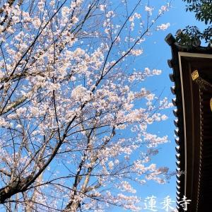 蓮乗寺の桜・・・