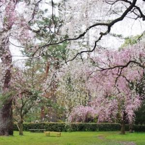 忘れじ桜 美し桜・・・