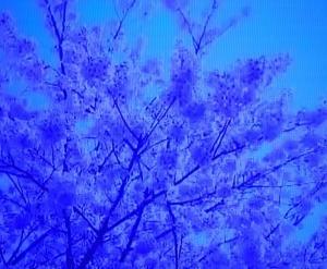 コロバト575 さくら咲く場所が記憶を呼び起こす