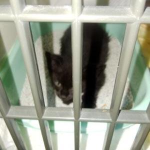 黒子猫トヨタの里親募集 ~千葉県市原市近郊限定