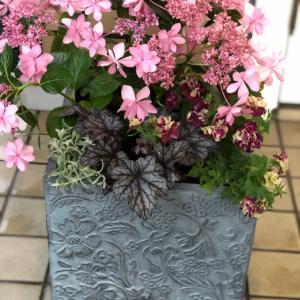 紫陽花寄せ植え ローラアシュレイの鉢