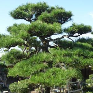 大御所のドデカイ松で古民家の庭の剪定終了 ❕