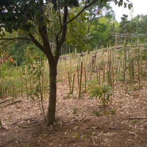 猛暑日が続く中での竹藪の片づけ。