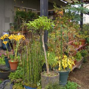 姉宅所狭しと置かれている植木鉢