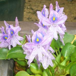 満開のホテイアオイの花と レタス苗が無残な姿に・・・😭