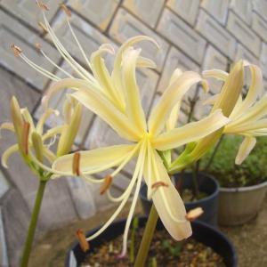 姉宅から持ち帰った花は白い彼岸花(Lycoris albiflora)だった。