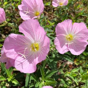 昼咲き月見草♬沖縄