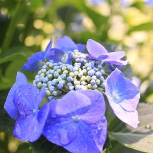 紫陽花と県民の森散歩