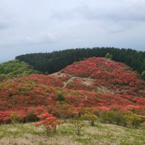 葛城山のモミジ 五分咲き
