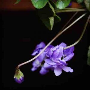 八重咲きニオイスミレ素敵💕