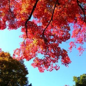 モミジの紅葉を仰ぐ