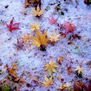 雪中の落ちモミジ