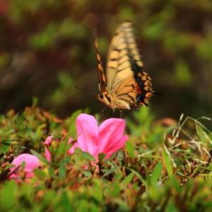 普通に見られる蝶たち