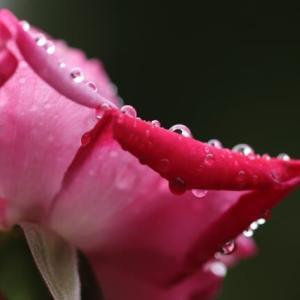 秋バラと雫