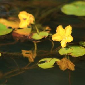 河北潟の黄色の花 アサザ