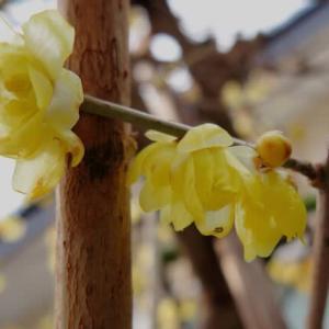 雪の中の春