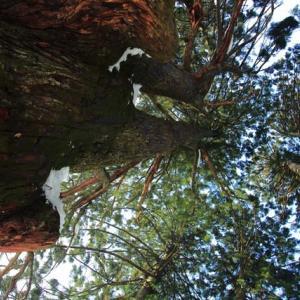 雪中に立つ五十谷の大杉