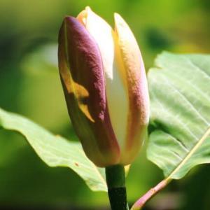 頭上の花たち 朴木・ヤマフジ