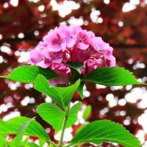 紫陽花を楽しむひと時