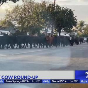 肉牛が集団で食肉処理場から逃亡を図る!