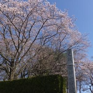 宮城県名取市 雷神山古墳 桜