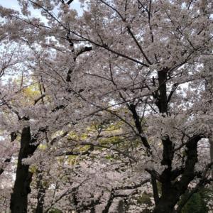 桜が綺麗・・幸せ