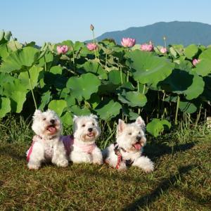 朝活☀藤原宮跡の蓮の花~♪♪