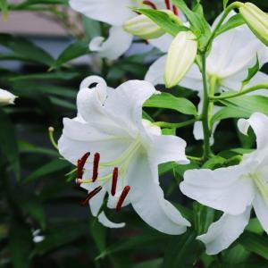 カサブランカと和花