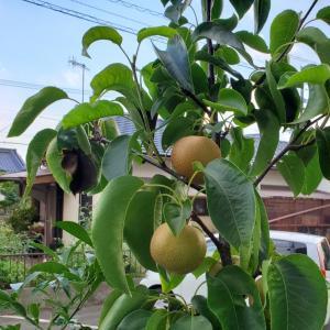 ベランダの梨をスマホで撮ってみた。