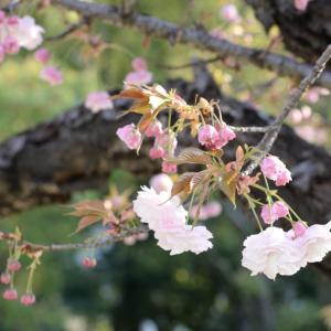 公園の桜!と初チャレンジ、お花のチョークアート