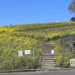 四国中央市翆波高原菜の花畑、ワシントン桜の園、アヤメ池。