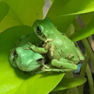 蛙ヒーター【8/1】