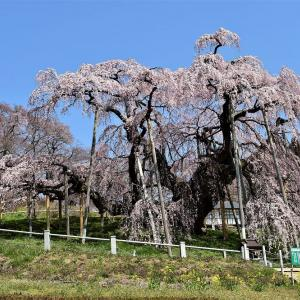 満開の三春滝桜