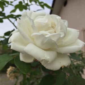 我が家の薔薇が咲いています。