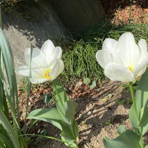 チューリップが咲きました!!
