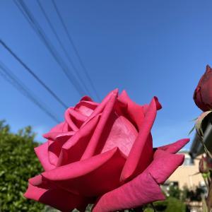 赤い薔薇が満開です!!