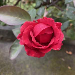 薔薇が咲きました!!