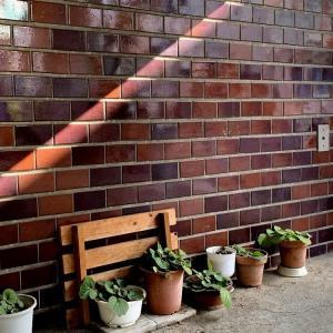 ☆アトリエの、ユキノシタの鉢のある壁☆