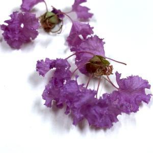 ☆サルスベリの花☆