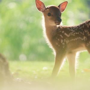 子鹿(バンビ)物語2020 vol.1 ぼくのみらいは ひかりかがやく