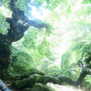 聖人を雨から守った巨木訪ねて、Faggio di San Francesco