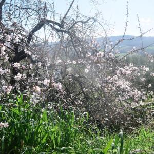 日にきらめく花 桜のようアーモンド、ウンブリア
