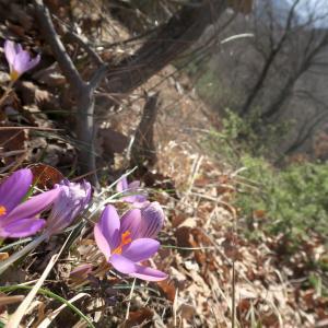 クロッカス咲いたかと登るフィオンキ山、スポレート