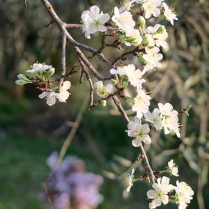 スモモ花咲くペルージャの春の庭
