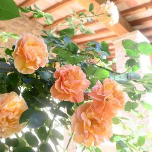 ミジャーナのバラもきれいな5月の夕べ、ペルージャ テッツィオ山