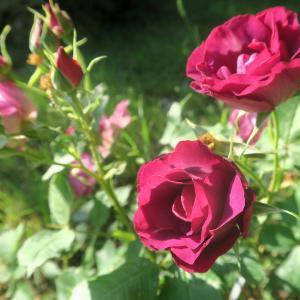 日のもとのバラ 遠来の客 見解の相違