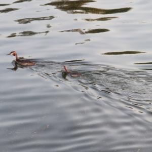 自立迫る親できぬ雛カンムリカイツブリ、トラジメーノ湖